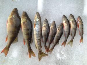 mange fisk